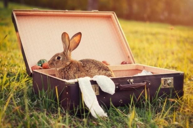 Rabbit in suitcase