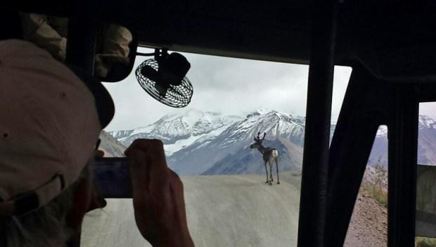 Denali National Park Katishna Experience Bus Tour Scenery Caribou Posing