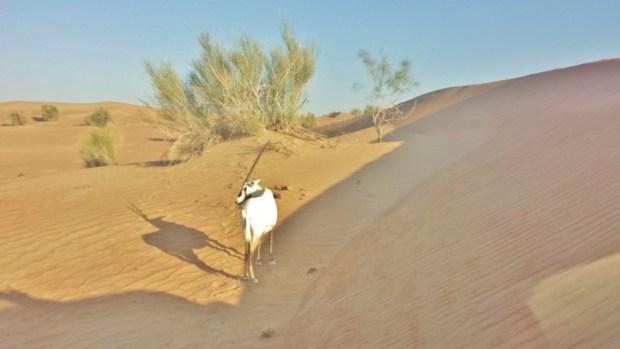 Al Maha Resort Oryx dune