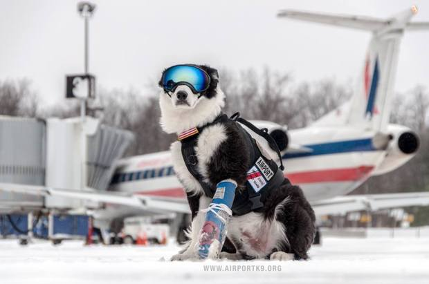 piper border collie american air courtesy of airportk9 org