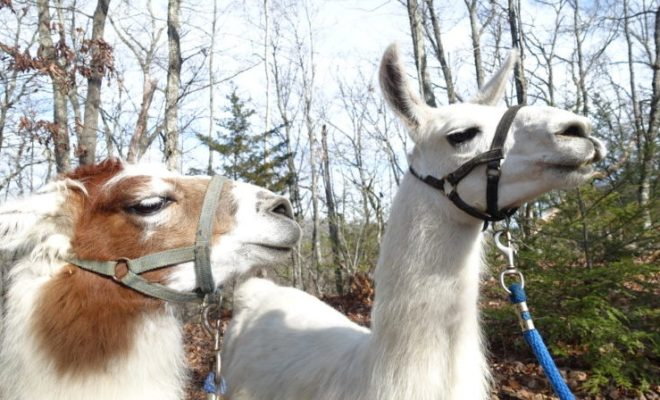 smoky-mountain-llama-treks-oscar-and-snuffalupagus
