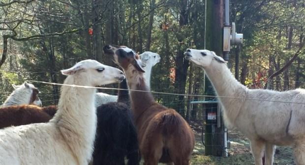 smoky-mountain-llama-treks-chin-in-air