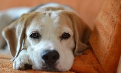 beagle-credit-sophie-hoffmann-pixabay