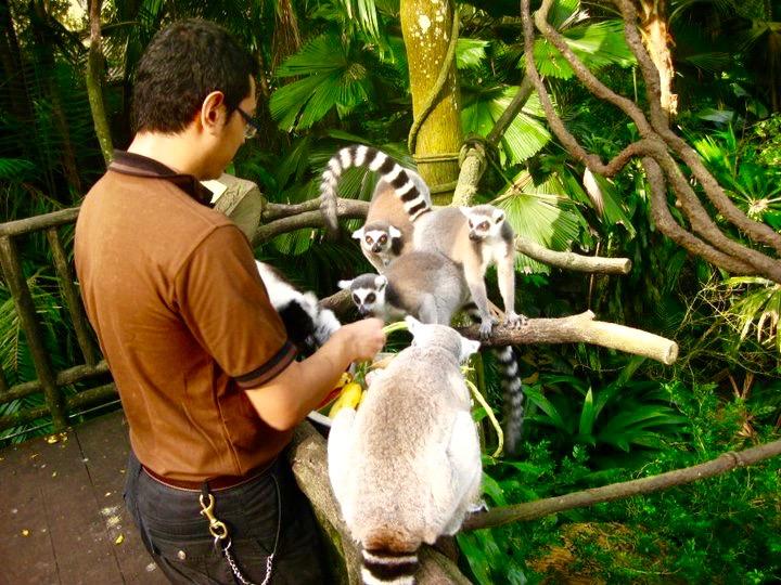 Lemurs at Singapore Zoo