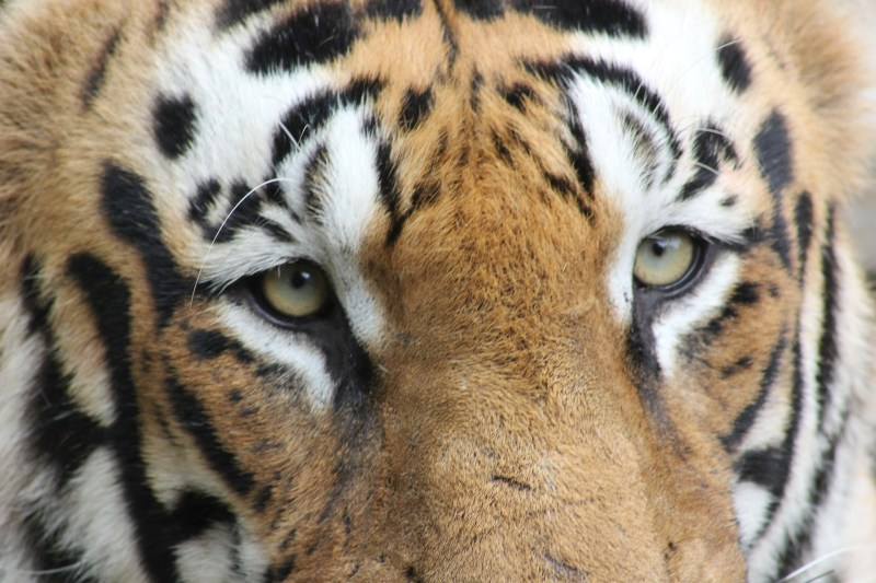 Royal Bengal Tiger, India
