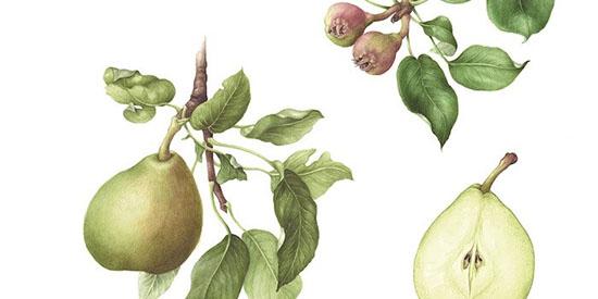 Heemtuin de Heide plant bijzondere fruitbomen