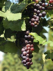 Huisgemaakt druivensap