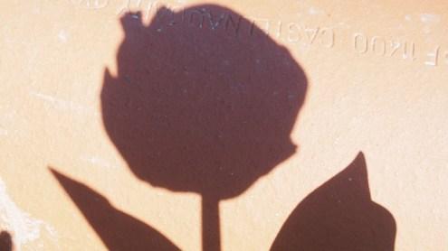 ombre de tulipe