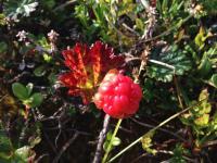 Moltebeere - Moltebær