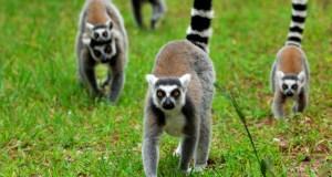 duke-lemur-center