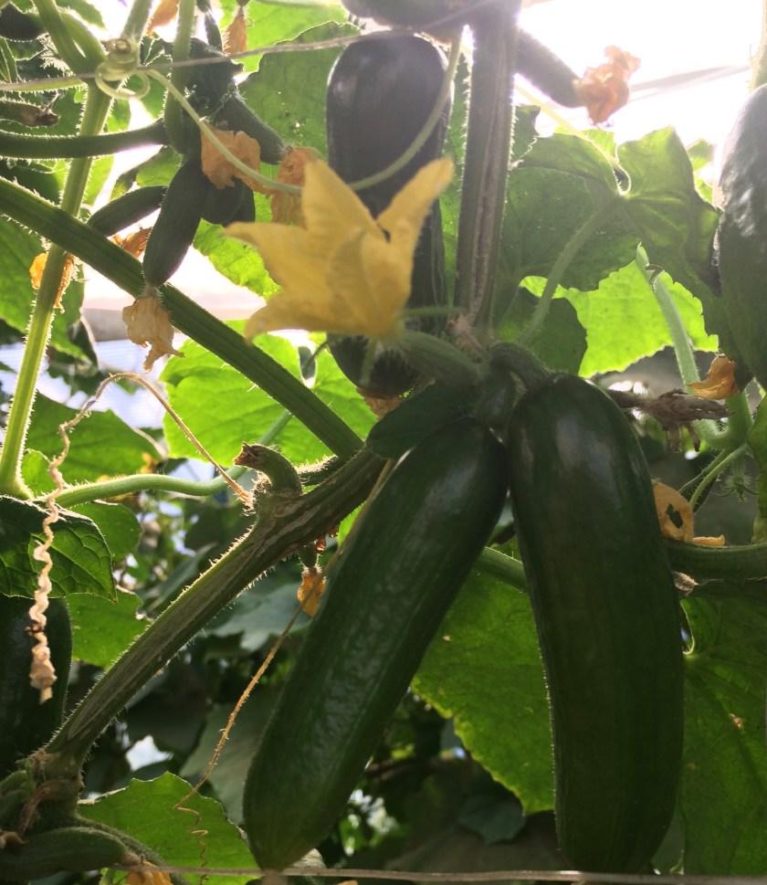 local cucumbers