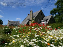 near Saint Malo, northern France a beautiful carpet of wild flowers outside this house, perfect on a sunny day.