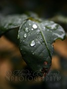 27th July 2013 - raindrops on roses (well, rose leaves)