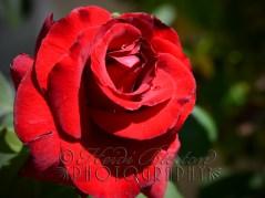 28th July 2013 - Rose again