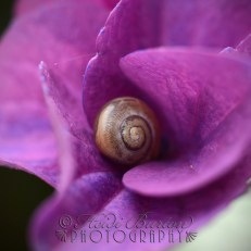 9th august 2013 - this little snail was all cosied up in a newly opening flower.
