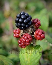 23rd September 2013 - Blackberry season - yummy! Copyright Heidi Burton ABIPP. No use without the prior consent of the photographer