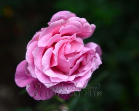 30th September 2013 - Another rose