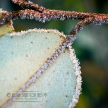 Frosty leaf #20