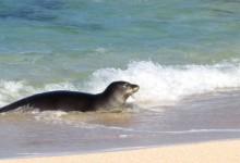 Hawaiian Monk Seal | Photo © Heidi Chang