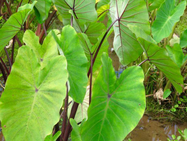 Kalo (Taro) growing in Limahuli Garden | Photo © Heidi Chang