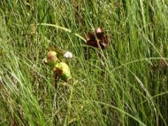 More Carnivorous flowers