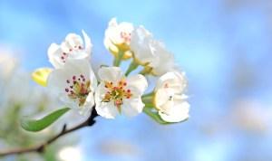 apple-blossoms-1368187_960_720