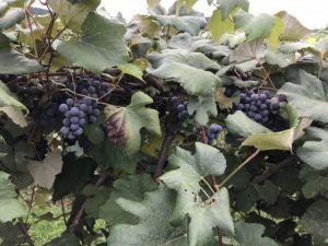 Grapes_Finger_Lakes_Trail_by_Heidi_Siefkas