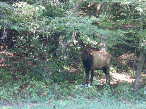 Elk_Trumpeting_Great_Smokey_Mountains_National_Park_Heidi_Siefkas
