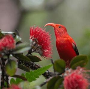 Iiwi_Bird_Hawaii