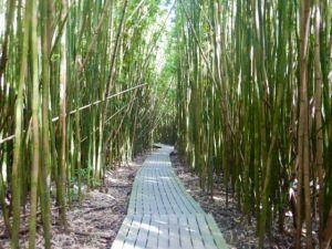 Pipiwai_Trail_Bamboo_Forest_by_Heidi_Siefkas