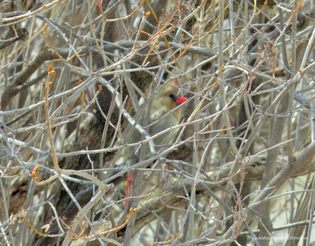 camouflaged female cardinal
