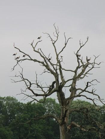 Auf Bäumen eher selten zu finden - Störche