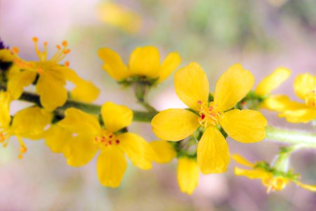 Bach Blütentherapie Agrimony