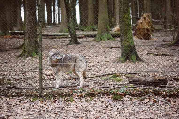 Der Wolf im Wildpark Poing