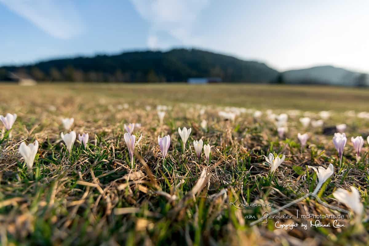 Krokuswiesen am Gerolder See