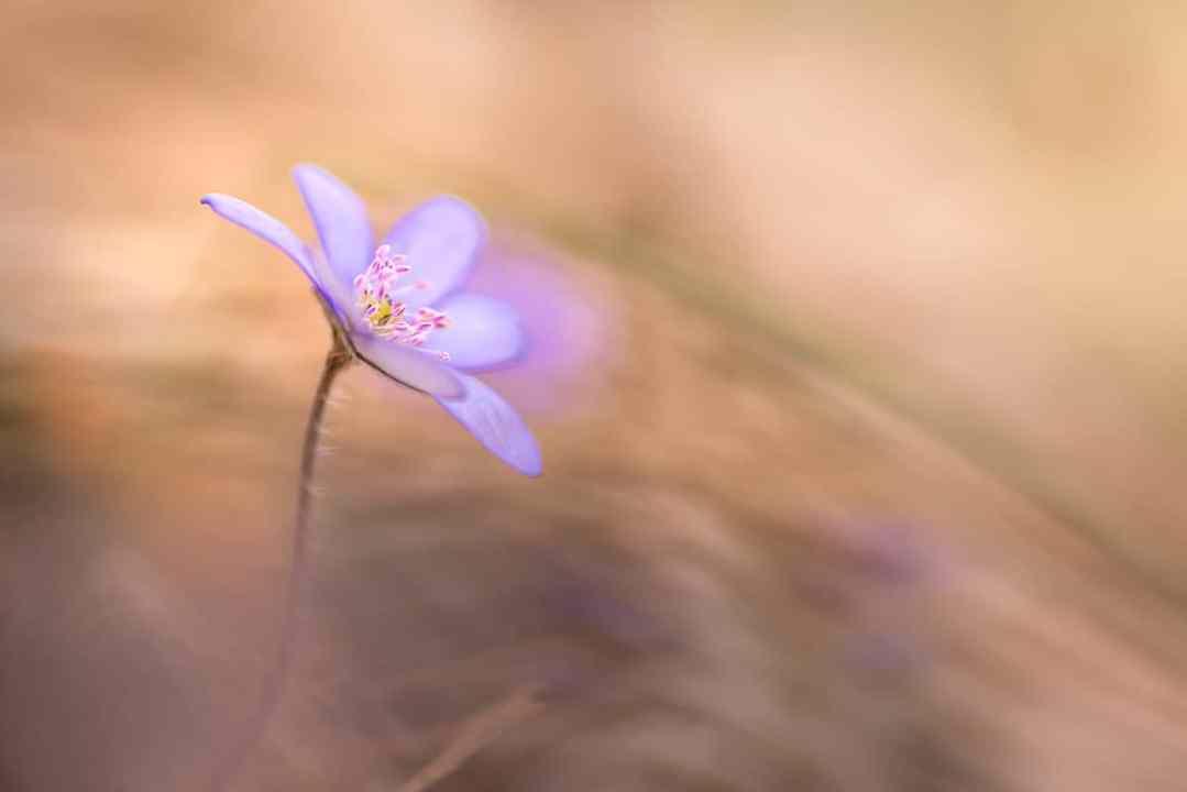 Leberblume, Hepatica nobilis