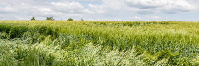 Wasserschäden im Getreide