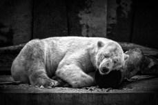 Eisbärenträume