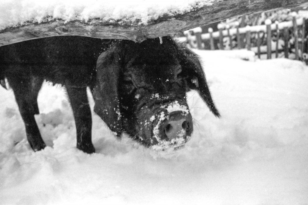 Tibetschwein im Schnee.