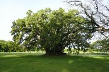 Ombu-Baum