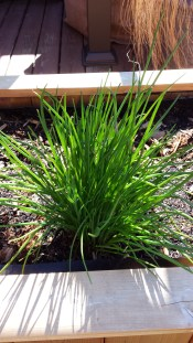 Chives thriving