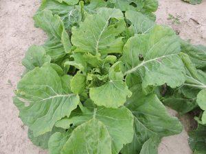 Collard 72_Moses Smith Yellow Cabbage Collard