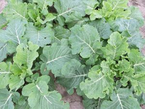 Collard 83_Cabbage Collard