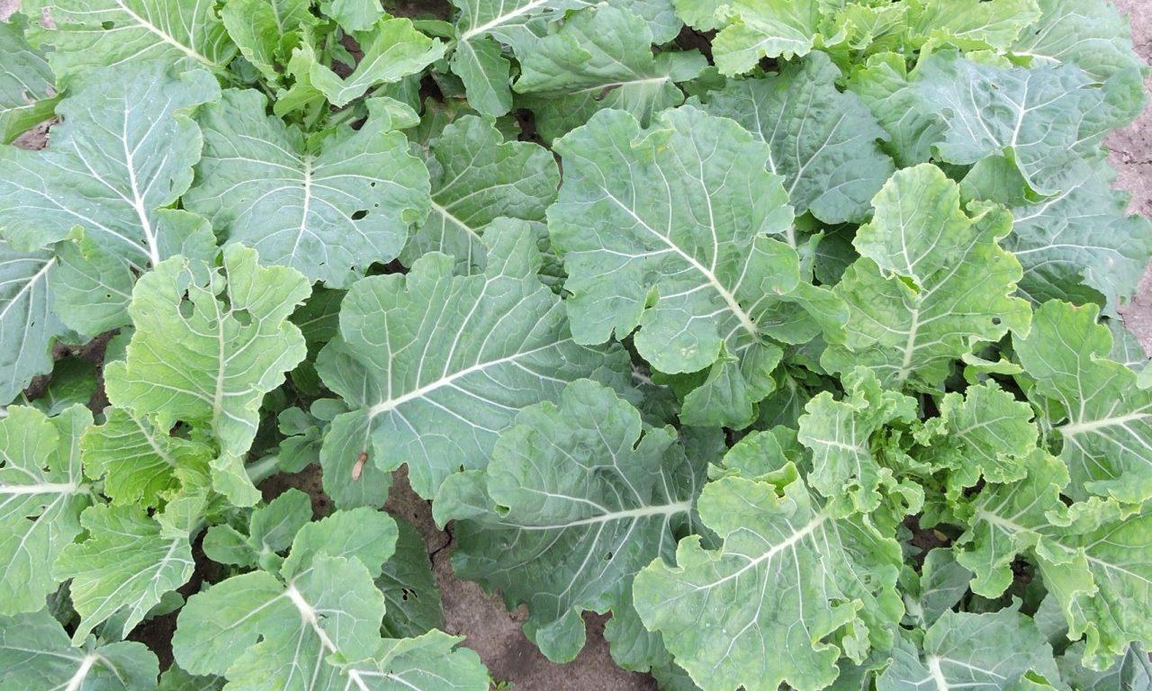 Cabbage Collard – 83