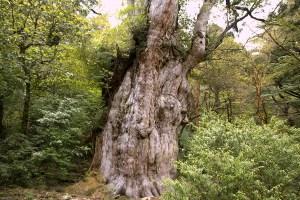 森の王者「縄文杉」