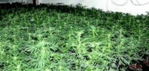 Perfect Cannabis Plants
