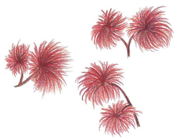 Rödslick Polysiphonia
