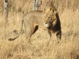 73_Löwenpaar