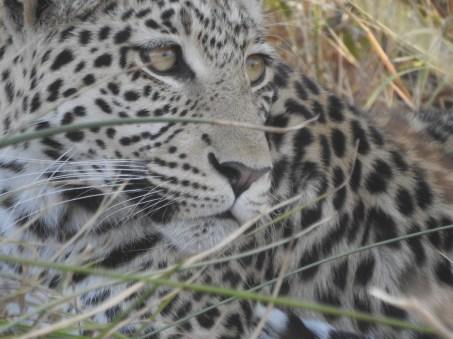 88_Leoparden