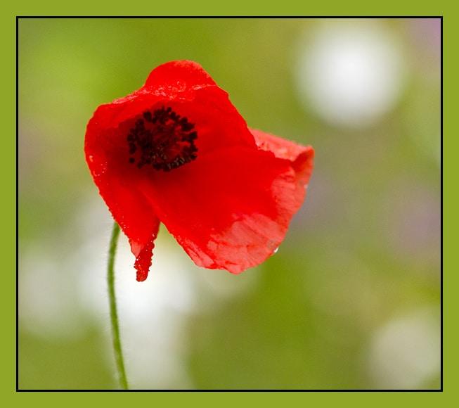 Poppy in English meadow Suffolk